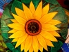 myo-myint-aung-sunflower